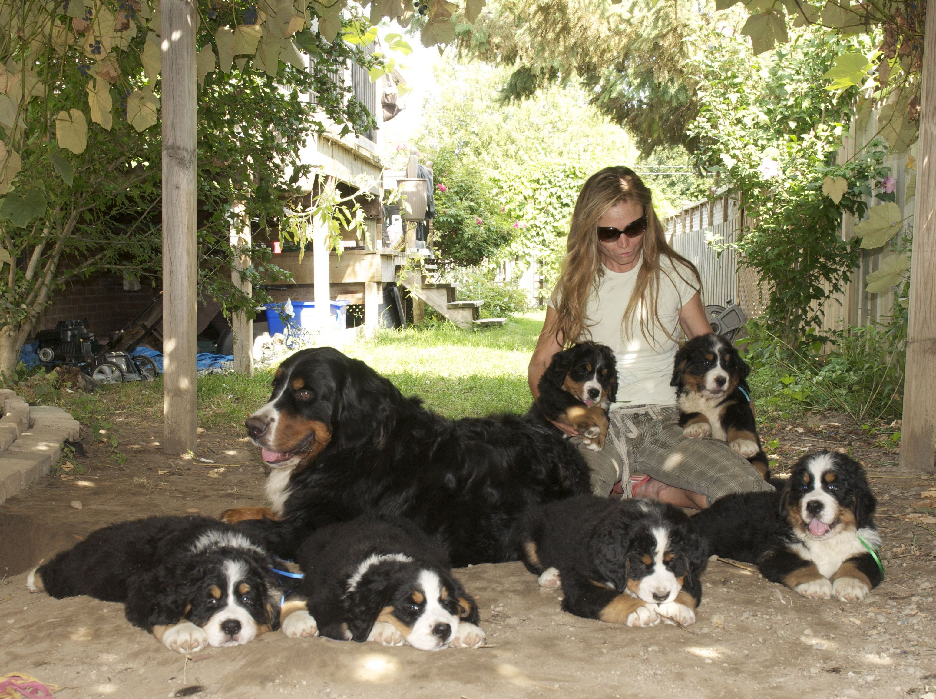 Bernese Mountain Dog Puppy Northern Ca